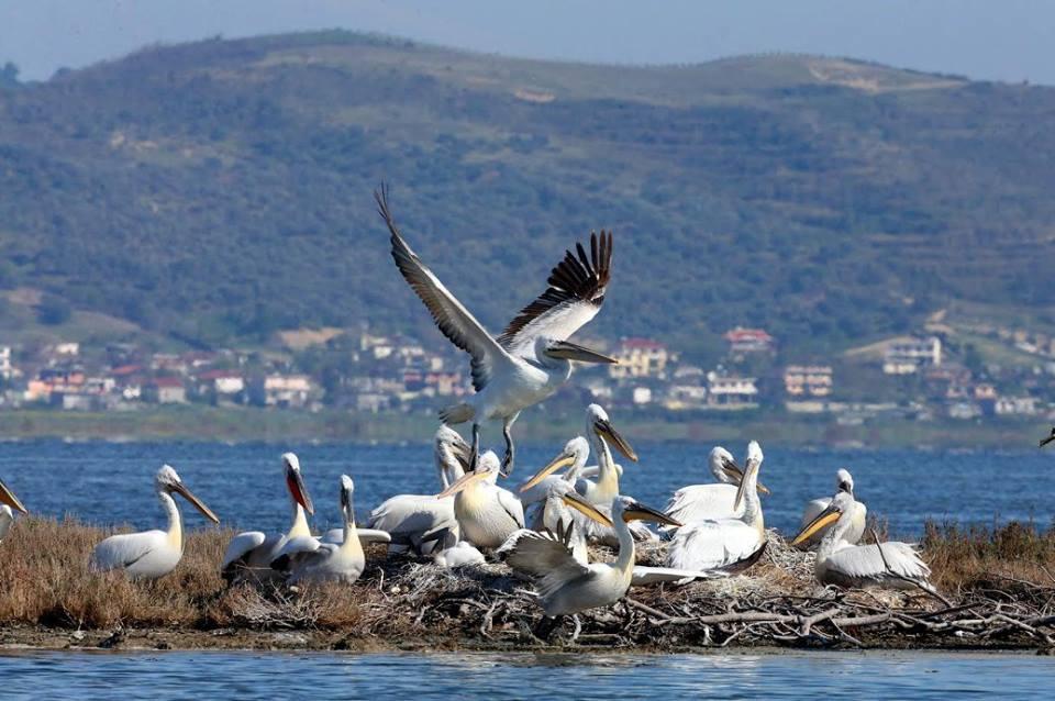 pelikan_divjaka_turizmi_shqiptar_vizito_shqiperine_beautiful_albania_ecaty_com