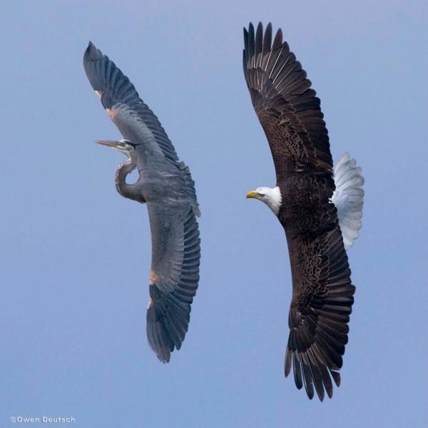 Foto e ditës: Shqiponja ndjek lejlekun.