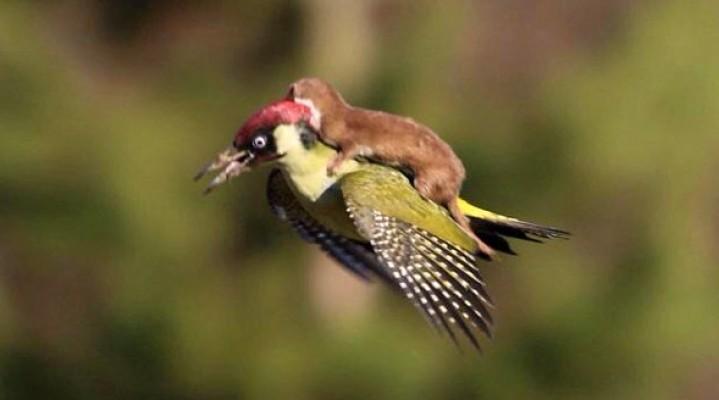 Nuselala mëson të fluturojë me qukapikun!
